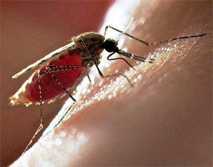 Продемонстрирован способ использования комаров для вакцинации