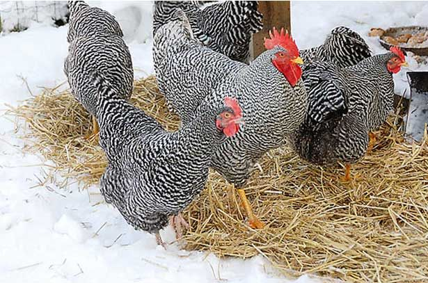 Курица и петух породы Амрокс