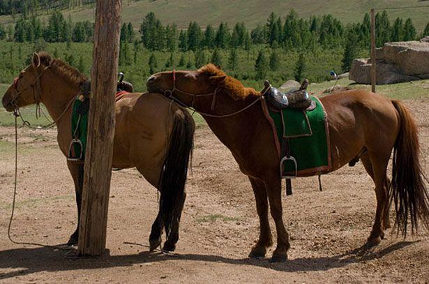 Dva konja mongolske rase