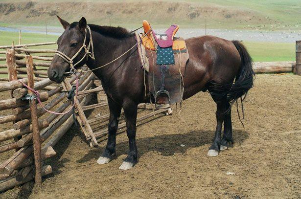 Eksterijer mongolski konj