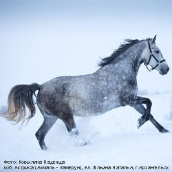 Originea și descrierea cailor exterioare rasa Orlov Trotter