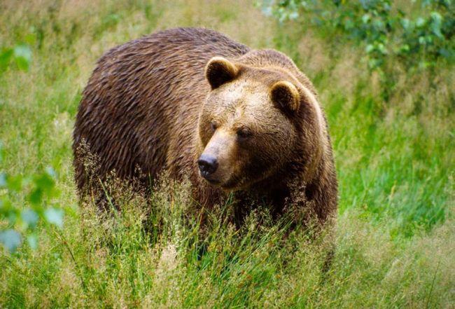 Mrki medvjed.