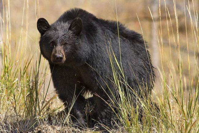 Američki medvjed.