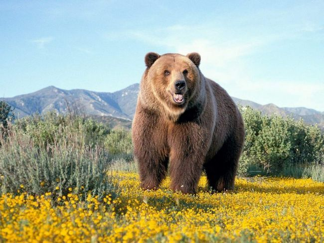 Grizzlies - stanovnik Sjeverne Amerike.