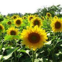 Nastup domaćih sjemena hibrida suncokreta