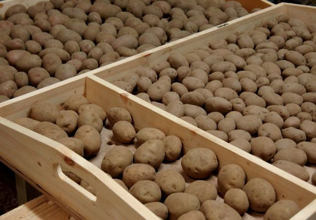 проращивание картофеля перед посадкой