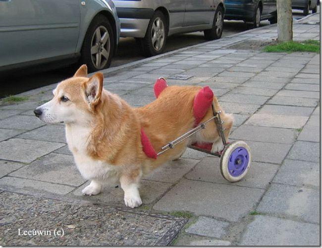 Pes, který přišel o zadní nohy, dostal šanci se pohybovat nezávisle na sobě pomocí jednoduchého vynálezu - dvou kolech.