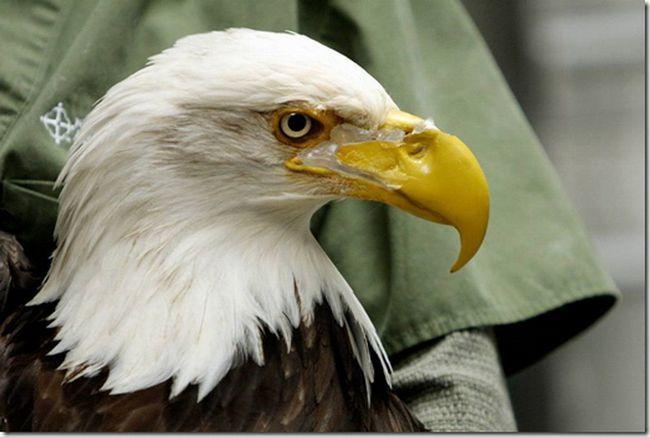Samice orel bělohlavý s poškozeným zobákem.