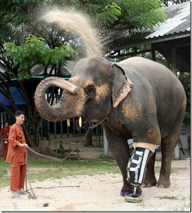 Slon Mottola - obětí minovém poli.