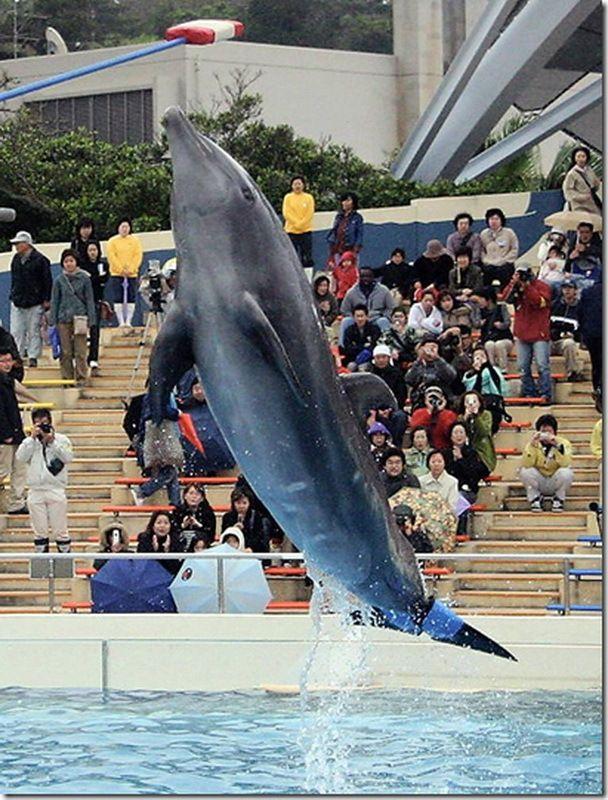 Dolphin s názvem Fuji s protetickou ocasem.