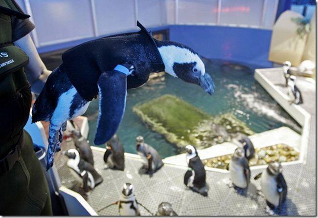 Penguin Pierre ve svém novém ochranném obleku.