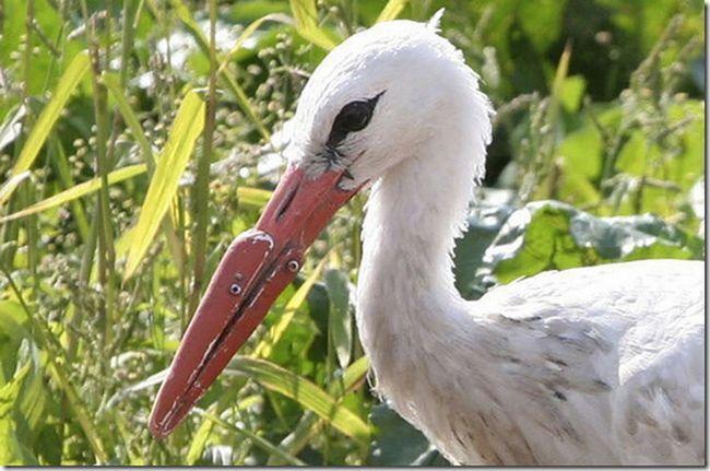 Stork v protézy namísto zobák, umělé mouthparts - jediná šance na přežití na této chudé ptáka.