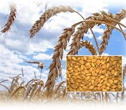 Пшеница как культура