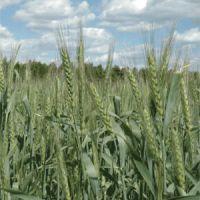 Ozimá pšenice na Volze