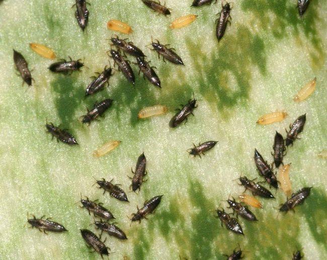 Thrips Pšenica Pšenica veľmi škodlivé, a to najmä na jar, v menšej miere raže, jačmeňa.