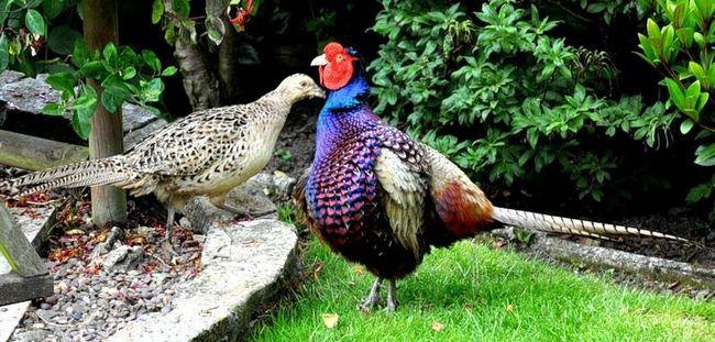 Птица фазан: в чем ее отличие от других пернатых?