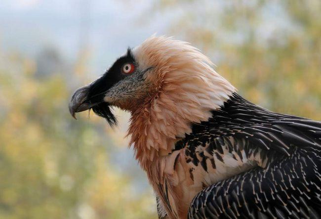 Bradati ptica poziv samo zbog brade ispod kljuna.