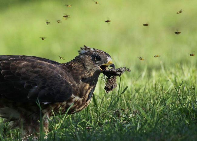 Osičar uništava gnijezda osa '.