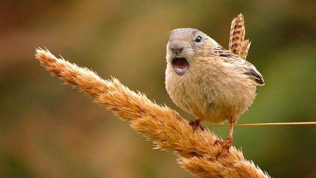 ptica muskrat