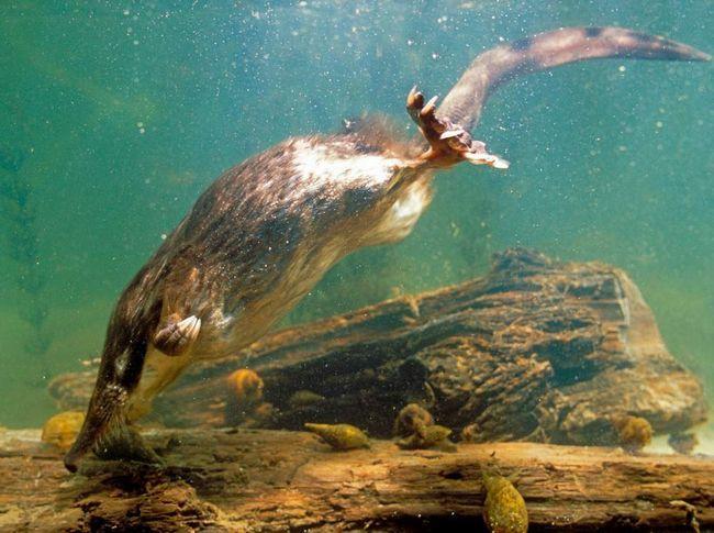Većina muskrat život ide pod vodom.