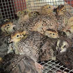 Птичка-невеличка и гордость японии: все о содержании перепелов