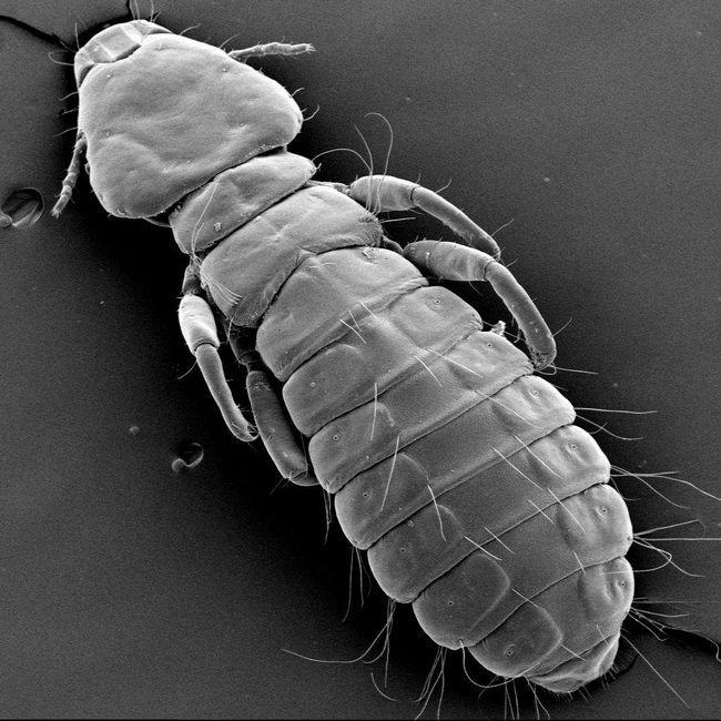 Пухоед под микроскопом.