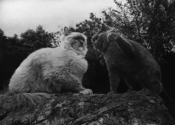 Slika mačka u olovku. Paul Loong.