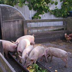 Кормление свиней в домашних условиях