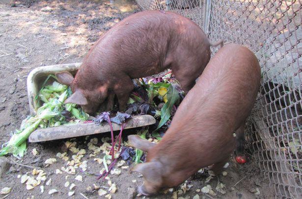 Кормление свиней отходами сада и огорода