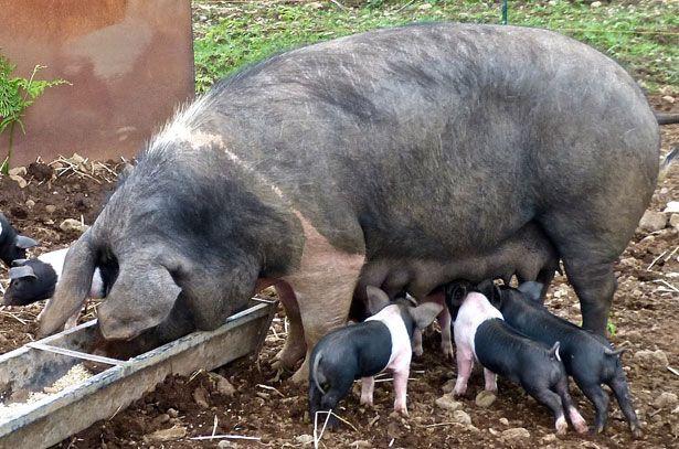 Кормление свиноматки в период лактации
