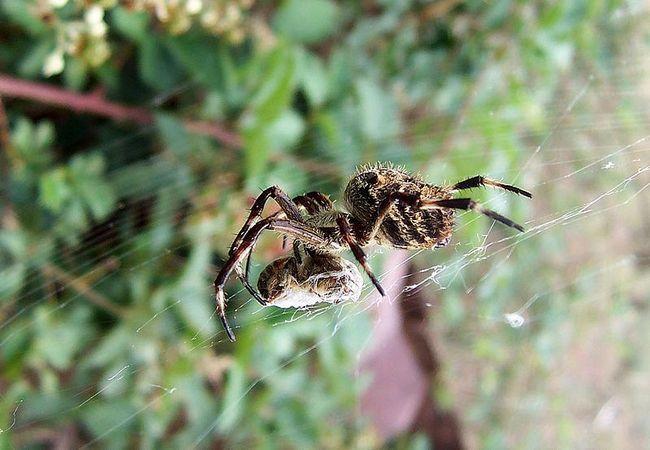 Рацион пауков-кругопрядов состоит не только из насекомых