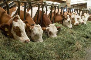 Krave dijetalna hrana
