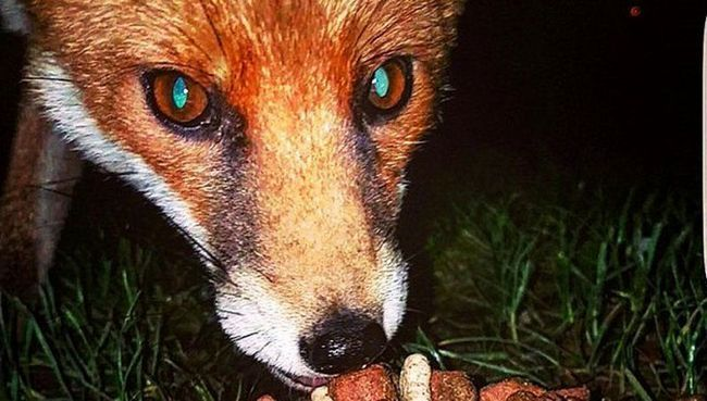 В великобритании лиса украла мобильный у рыбака
