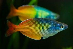 Радужница — рыбка для аквариума