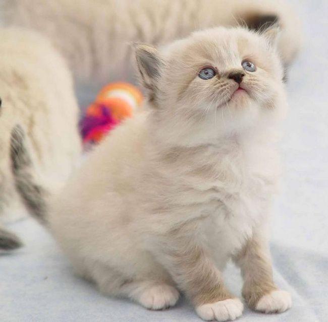 Ragamuffin mačka (Engl. Ragamuffin)