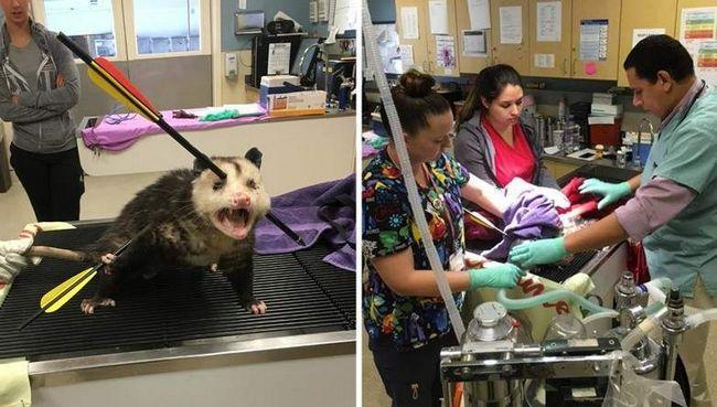 Ranjen oposum pokazao vitalnost.