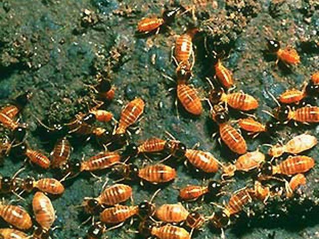 Термиты-камикадзе взрывают врага ради защиты своей колонии