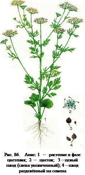 Plantă anason