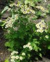 korisna biljka za mačke - hrizantema