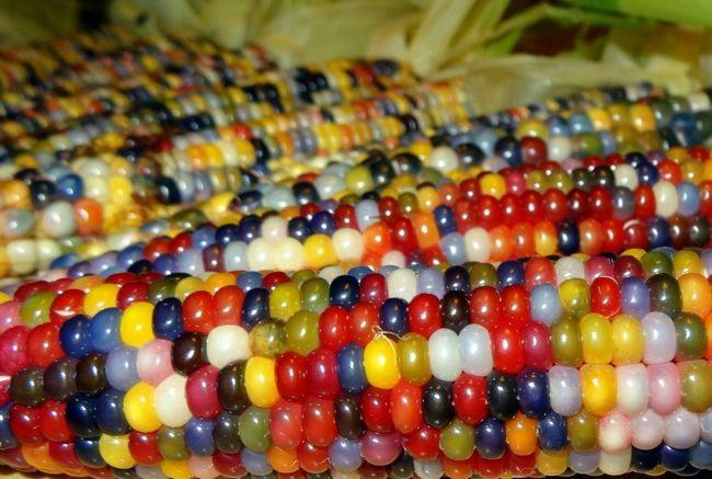 šareni kukuruz