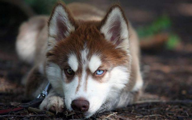 Husky je dobila jedinstveni razlika: heterohromijom.