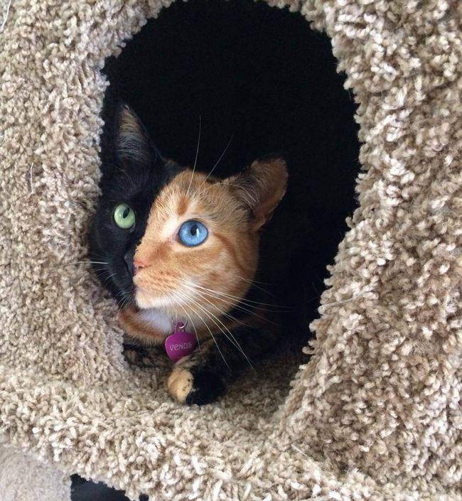 Ova mačka čak sloj obojen u dvije boje upravo u sredini!