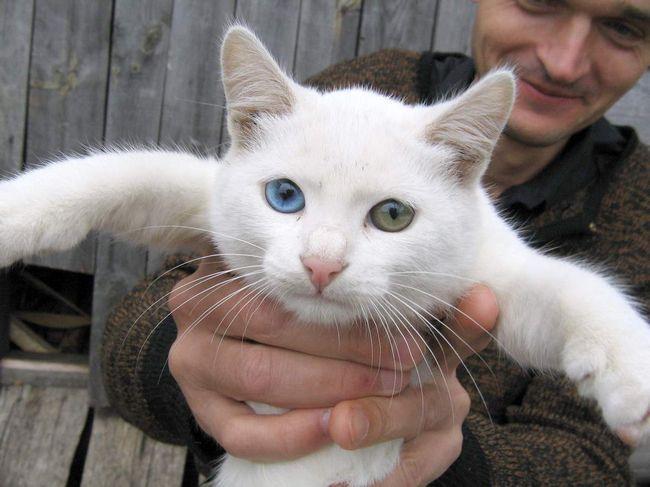 Snijegom bijele kuće mačka koji ima jedno oko - plavi, a drugi - zeleni.