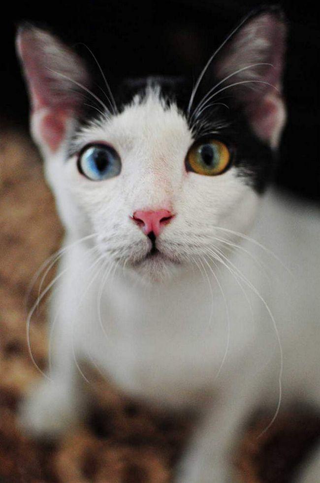 Ova mačka je azurno boju očiju i smeđe: dva u jednom!