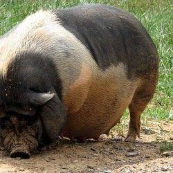 Разведение и кормление вьетнамских свиней