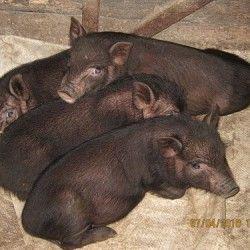 Vijetnamski uzgoj svinja