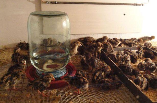 Rostoucí křepelka doma