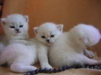 котята от вязки британских кота и кошки