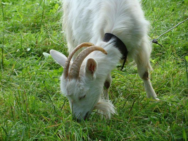 razvedenie koz v domashnih uslovijah