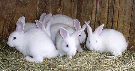 Uzgoj zečeva u kući hozyaystvah.video uzgoj kunića